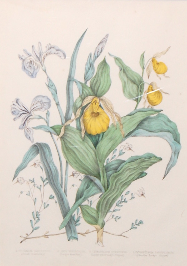 AGNES FITZGIBBON -- CANADIAN WILDFLOWERS-V